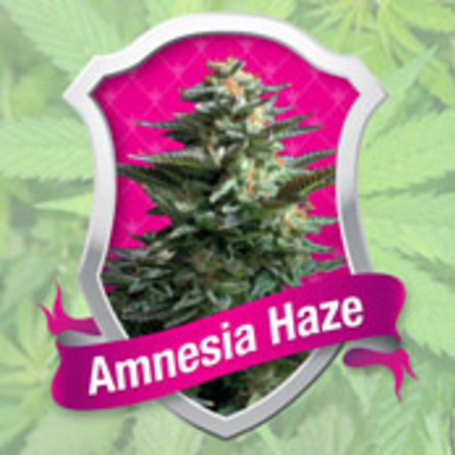 Big amnesia haze rqs